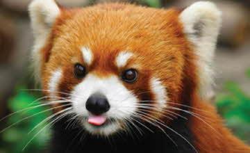 是貓是熊還是狐? 天然萌現蹤台灣