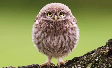 顛覆陰森印象 牠們是可愛灰林鴞和貓頭鷹