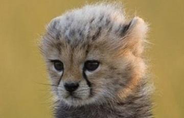 融化你心臟的能力者 比汪星人還可愛的獵豹寶寶