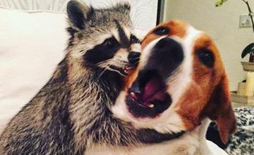一隻被遺棄的浣熊 竟然漸漸地變成了一隻狗!