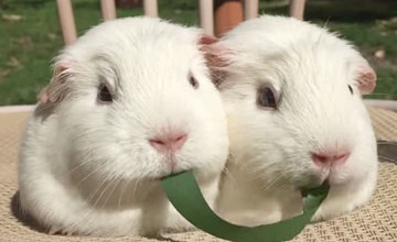 學「週一情侶」對嘴吃餅乾不成的兩隻天竺鼠