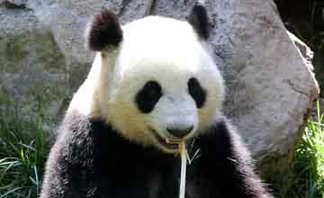15個你不知道的大貓熊的小秘密 萌寶居然每天進食14~16小時!!