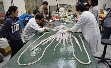 籃球眼大海怪現身!台灣海域首見4公尺長「大王魷魚」