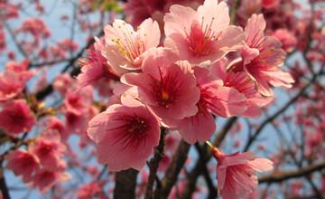 好險有送美國櫻花 不然日本櫻花就要絕跡了?