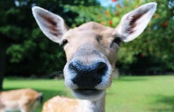 去日本一定要跟鹿兒玩耍?但小鹿可能因此被害死!