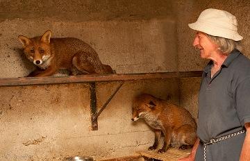 擁有世界上最特別朋友的爺爺!他和這兩隻狐狸兄弟一起生活的溫馨故事 絕對讓你忍不住微笑