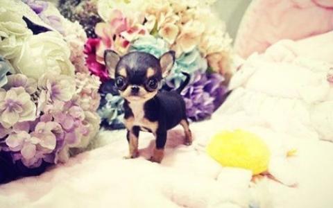 下輩子應該當狗...砸25萬買吉娃娃 女星被批炫富