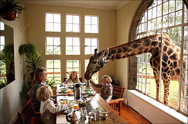 與長頸鹿共進早餐是多麼酷的經驗, 你還在猶豫什麼?