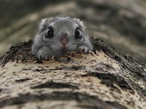 """大家好~我是第2級瀕危物種的""""小飛鼠"""""""