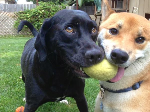 上流圈的狗狗平常都玩在一起