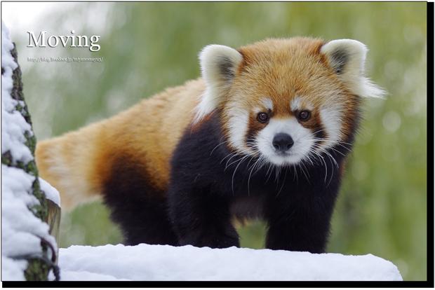 世上竟然有這款小動物? 四肢像熊、身體像狐,臉又像貓