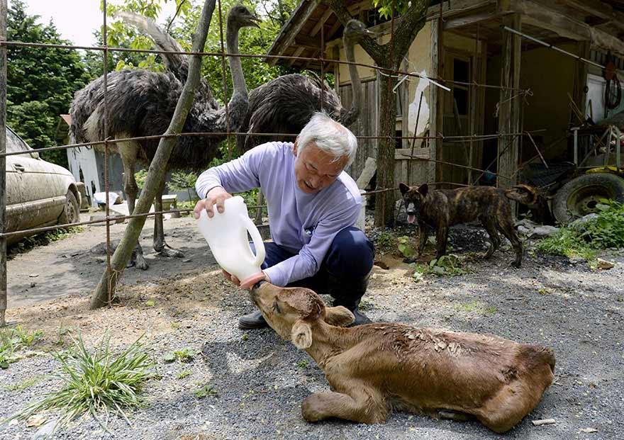 松村回憶 有隻母牛沒奶 小牛想喝 只看見母牛一直把靠近的小牛踢開 最後兩隻都餓死