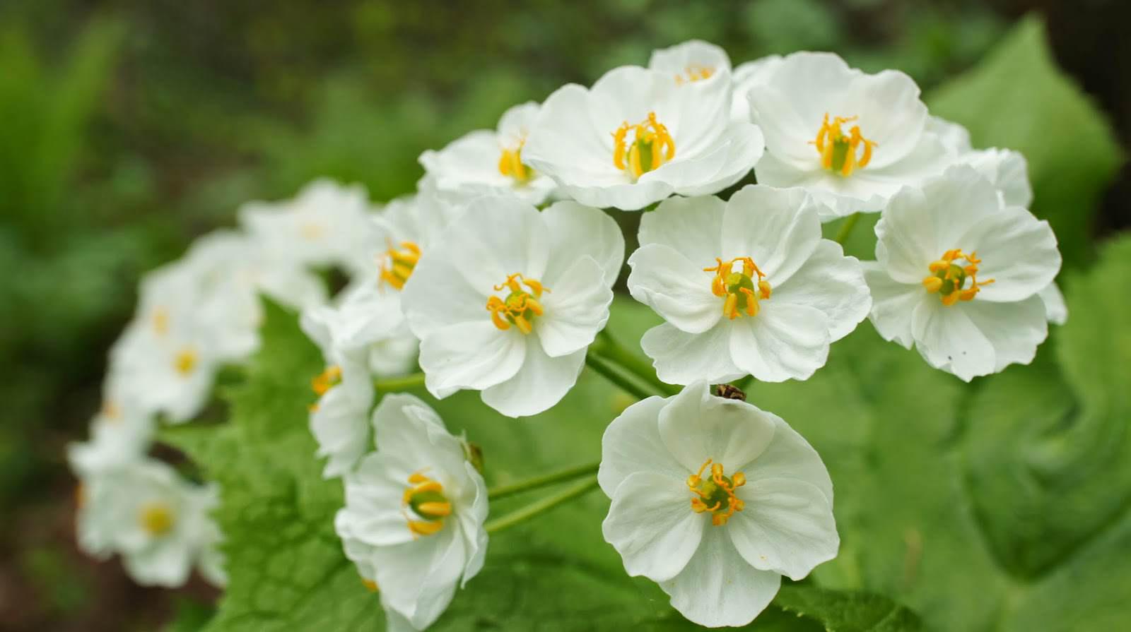 大自然的神奇讓你見怪不怪 今天要介紹給大家的是這個日本原生花種Diphylleia grayi 山荷葉屬植物,現在還沒有中文名字唷