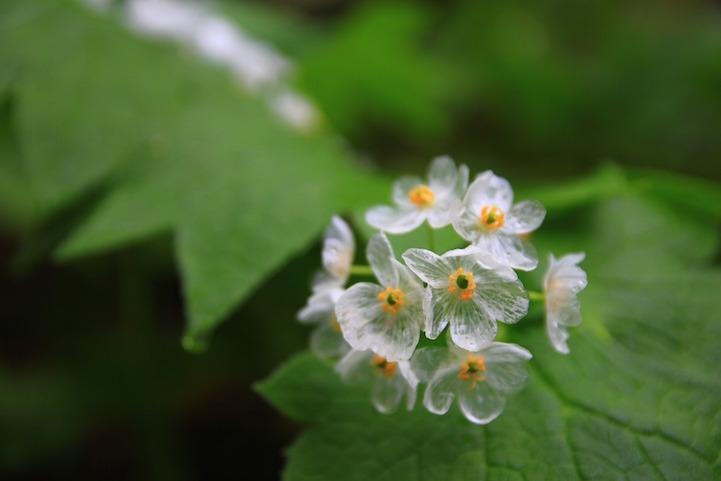 就好似冰晶玻璃般 花瓣全變成透明