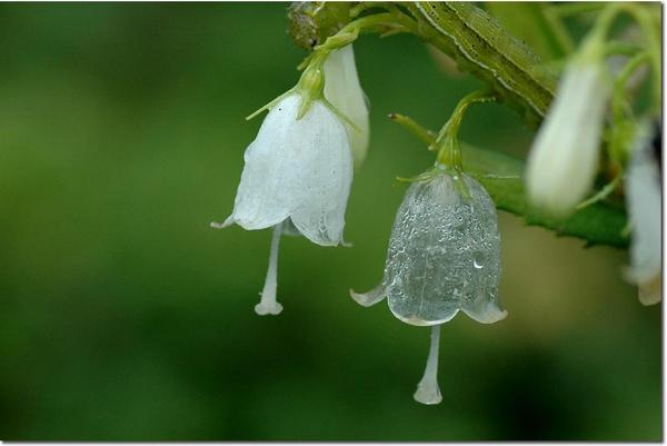 但其實日本透明花不只一種 這是日本輪葉沙參