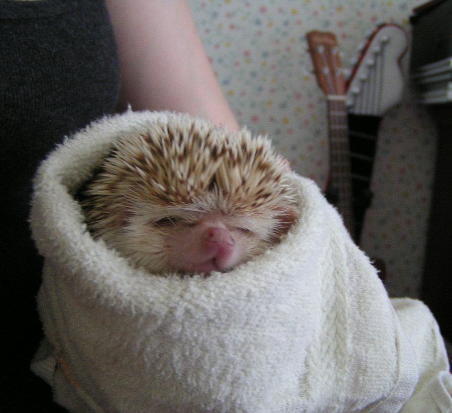 媽呀~看過睡得這麼萌的小刺蝟嗎...zzZ