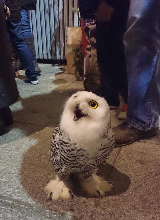 然後像這樣圓滾滾的小朋友就是灰林鴞! 不過他們的英文名字都是Owl就是了:)