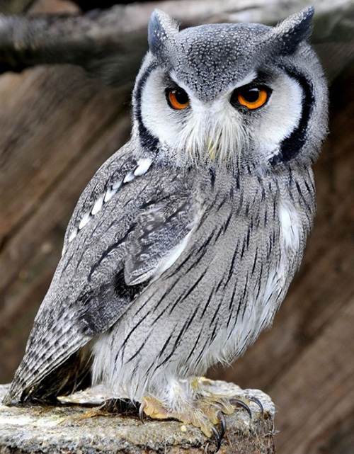 但是除了可愛的小朋友們 也有像這樣長得帥氣的貓頭鷹!