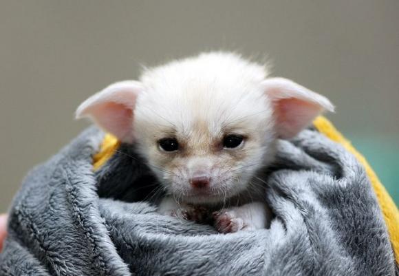 從小就帥氣的沙漠狐狸~ 像不像聰明的小精靈啊!?