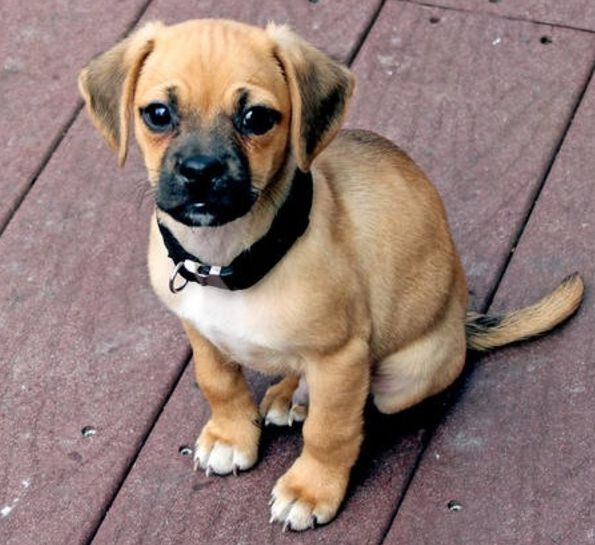 也是今天的主角✩w✩ 混血狗寶貝巴獵犬 (因為沒有正式名稱,小編以下就稱這位小可愛巴獵犬唷!)