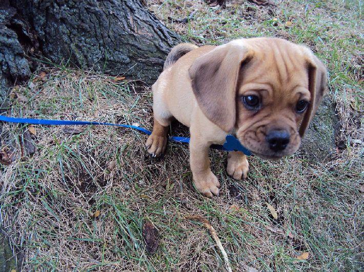 在巴獵犬身上,可以同時看見小獵犬的小無辜表情, 外加巴哥犬的魅力皺紋臉XDDD