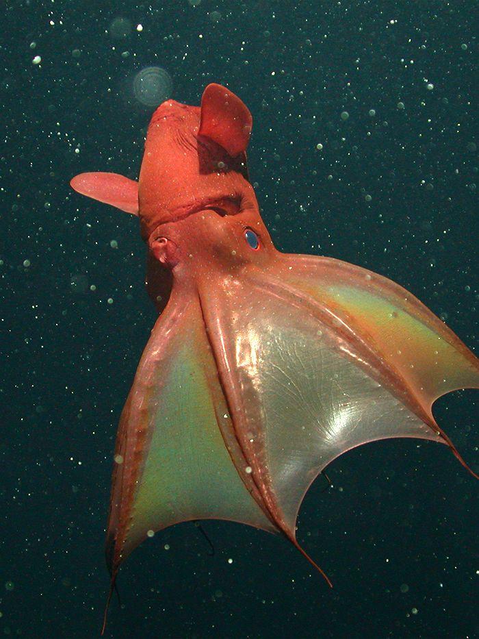 8. 吸血鬼烏賊(Vampire squid )