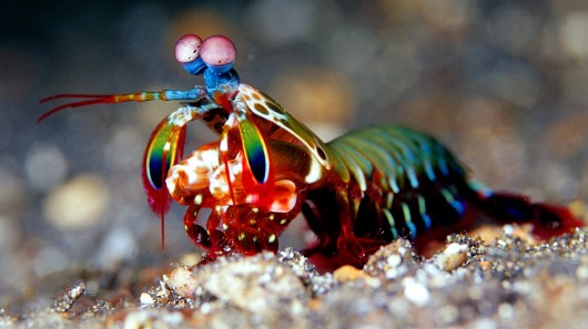 1. 蝦蛄(Mantis shrimp)