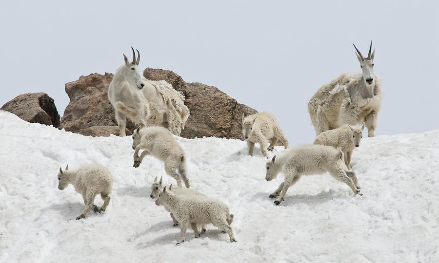 這種生物不是什麼特異物種,而是山羊! 還是生活在美國高山的「落磯山雪羊(rocky mountain goat)」