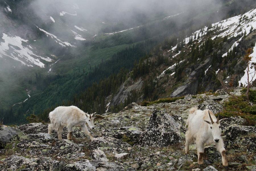 物種的能力都是為了適應環境而演變~雪羊也不例外 因為所生長的山區十分陡峭嚴峻