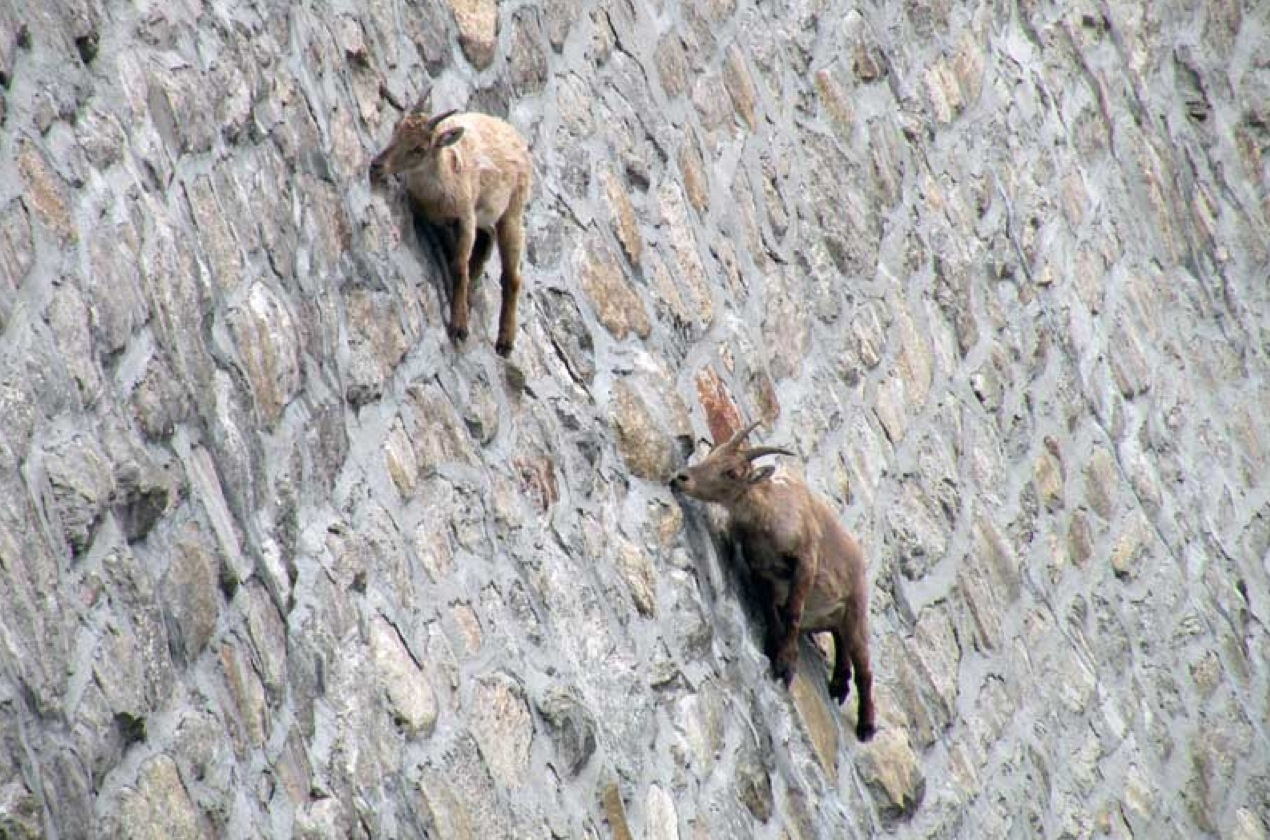 本來都是在北美人煙稀少的山上生活 近年也在義大利的水壩附近找尋到牠們的蹤跡~