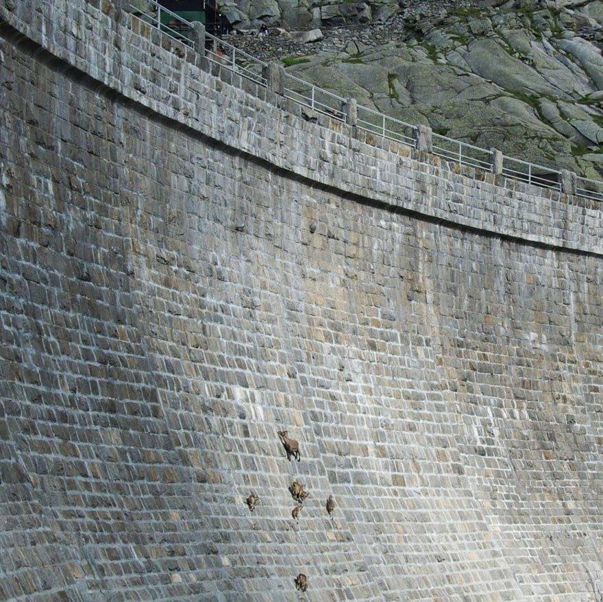 水壩裡生活的雪羊