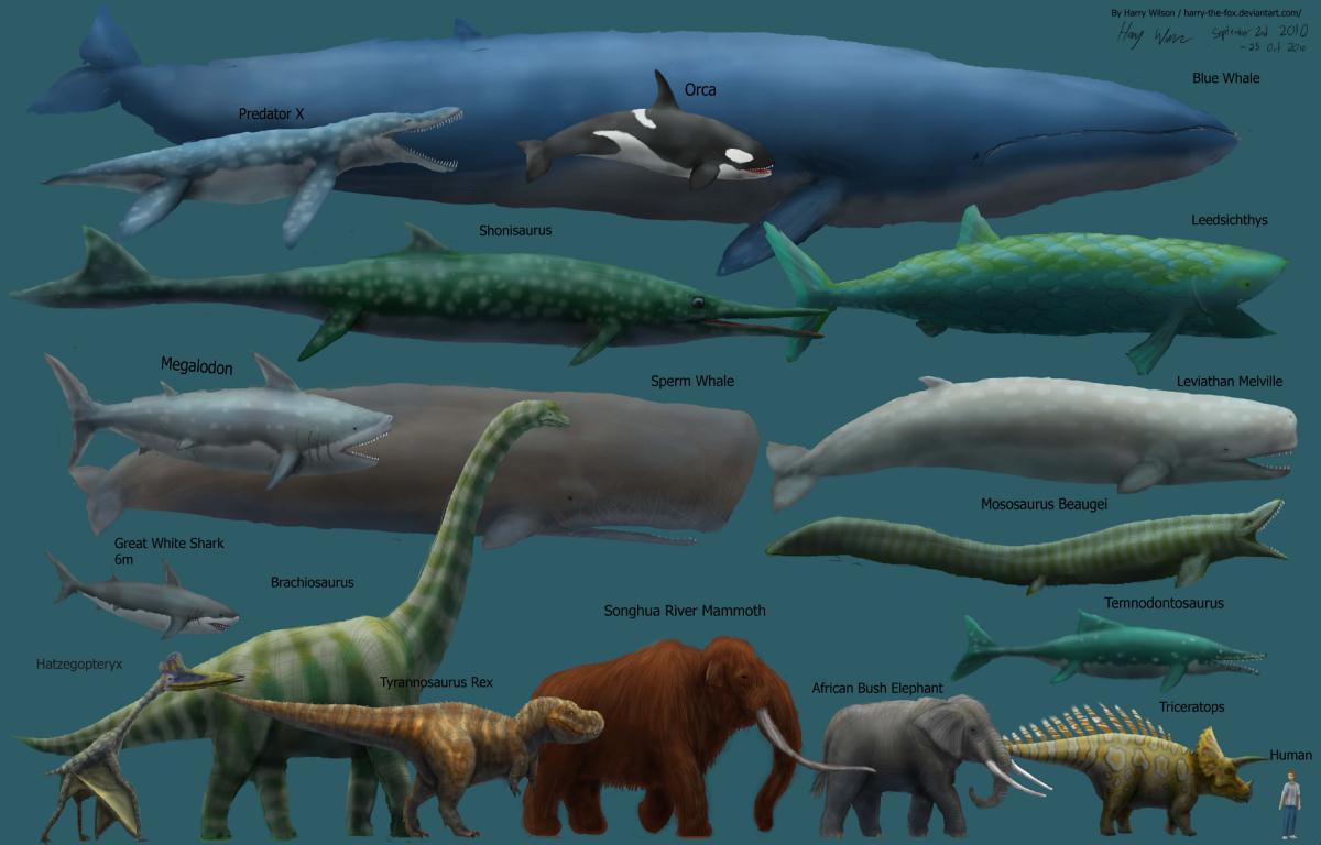 大約有大象的5~7倍大!而大象又比人大五倍, 所以大王鯨魚比人大將近25倍耶!!!(傻眼吧?)