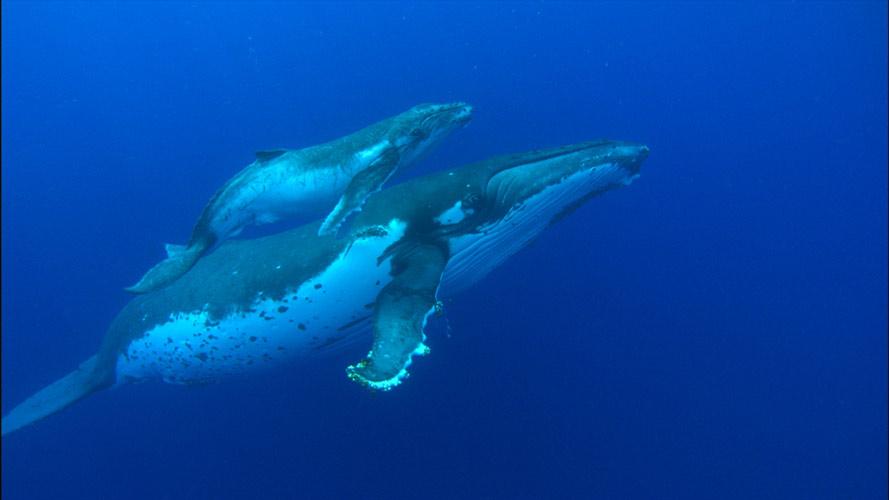 大王鯨魚的平均壽命超過100年以上! 大約每2~3年會生產下一代,懷孕時間大約11個月!