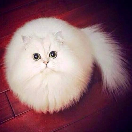 在天時、地利、貓和下,有人無意中捕捉到小白貓圓滾滾的模樣,融化愛貓一族的心。不過,有網友向修圖達人下戰帖,看大家能把小圓貓P成多爆笑的場景,讓我們一起看下去