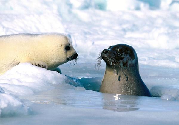 海豹種類很多~右邊的朋友是最常見的斑海豹!