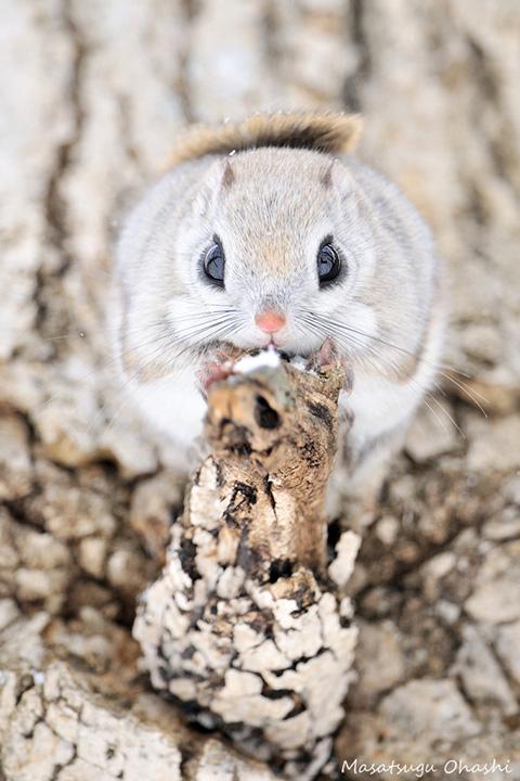 全世界動物的故事!今天的故事主角是~小飛鼠!