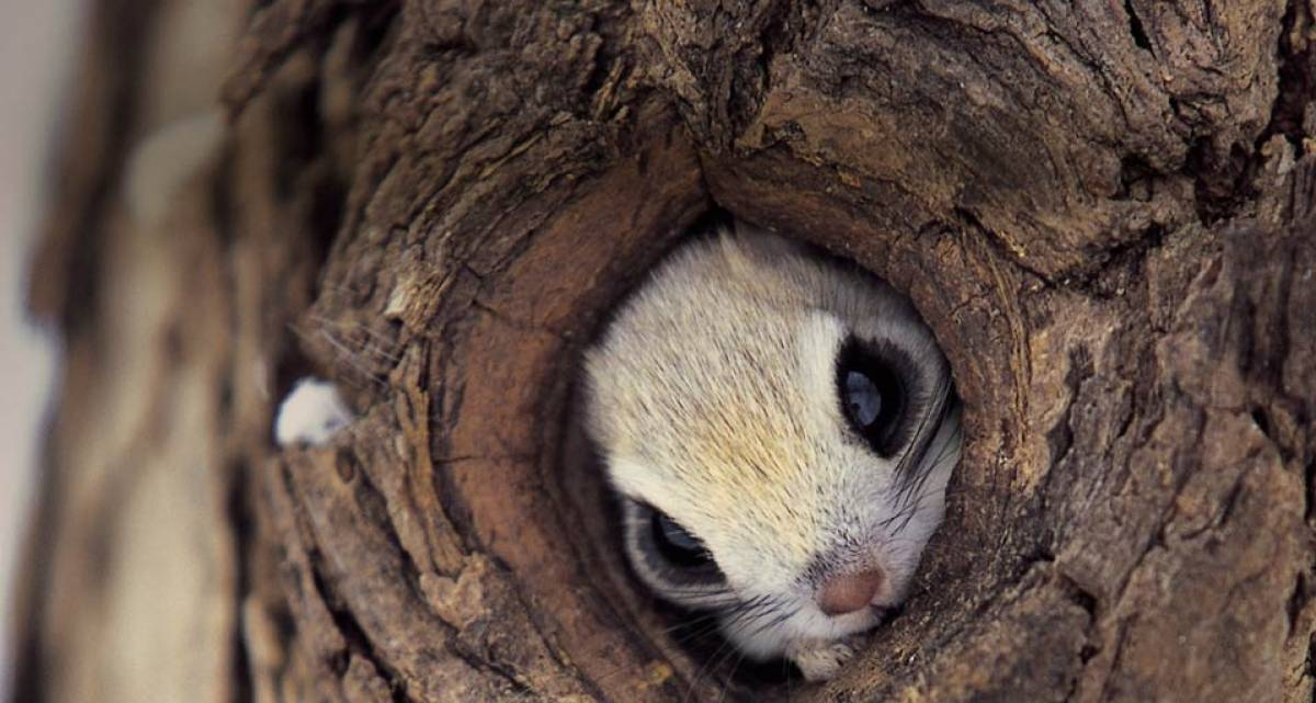 動物的可愛真的無底線!今天這個迷你小飛鼠的可愛也會融化你唷~