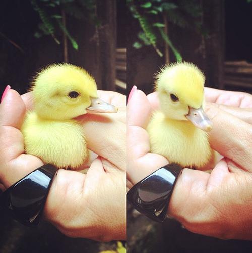 呱呱!剛出生沒多久的小鴨鴨,絨絨的胎毛好像很好摸耶~
