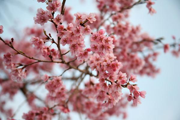 聽過「桃花煞」嗎?在占卜&命理學中,是指星星像桃花一樣,貪圖誘惑異性,雖然有著人氣很高的命運,但這高人氣卻也意味著「煞」的意思。