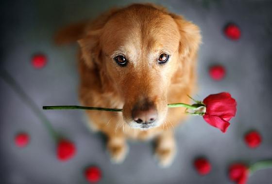 3.黃金獵犬  他們永遠停不下來!超愛冒險和戶外運動,渾身散發陽光一般的溫暖與熱情,會用最真誠的愛守護照顧女朋友。缺點是偶爾讓人覺得有點太幼稚長不大,不過也可能因此被他萌到啦!