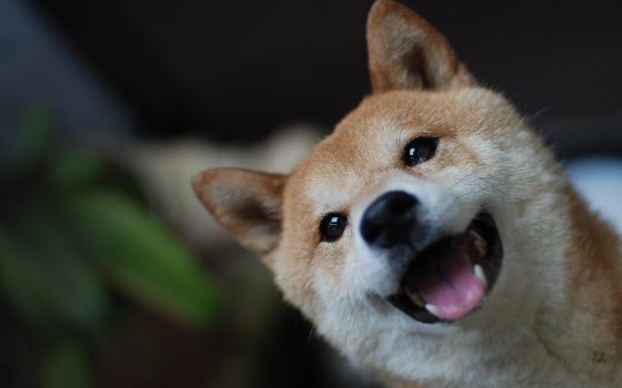 5.柴犬  他有漂亮的雙眼和融化人心的溫暖笑容,對感情相當忠誠而且獨立,女友太忙時也可以自己過得很好。憨厚老實又好養,對物質要求不高、對食物也不挑嘴,你煮的奇奇怪怪料理都會開心吞下肚。