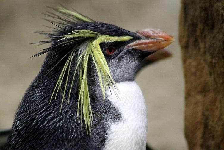 還是企鵝界的挑染王XD