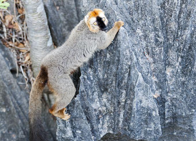 可愛的Lemur也跑來湊熱鬧~