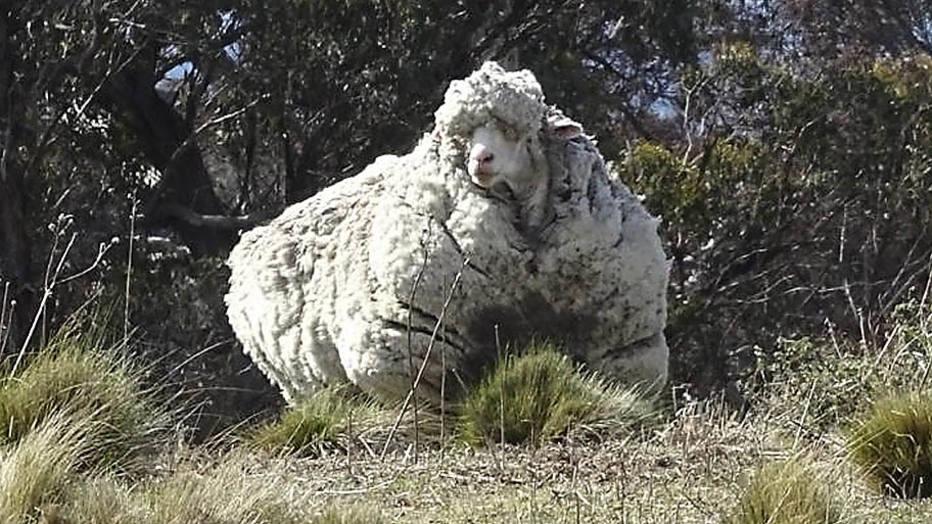 日前在澳大利亞首都坎培拉北郊,發現一隻「胖」得走不動路的羊...隨後人們果斷對它實施「解救行動」.....