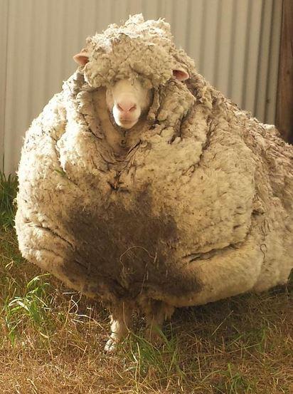 調查之後發現這是6年前走散的小羊「克里斯」...