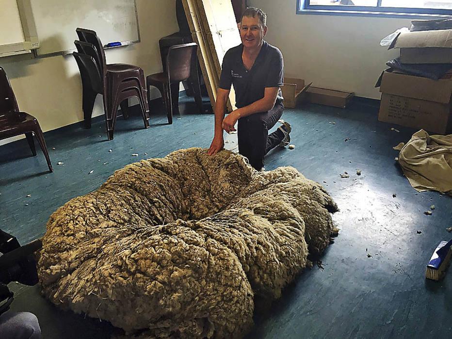 看樣子克里斯有望刷新世界紀錄,成為全球單次剪羊毛量最多的羊喲! 這一紀錄之前由紐西蘭明星羊「大本鐘」保持,它2014年曾被剪掉將近29公斤羊毛。