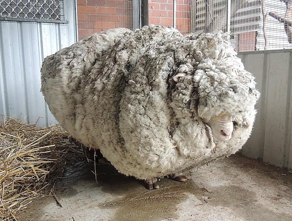 待剪毛的羔羊球XD