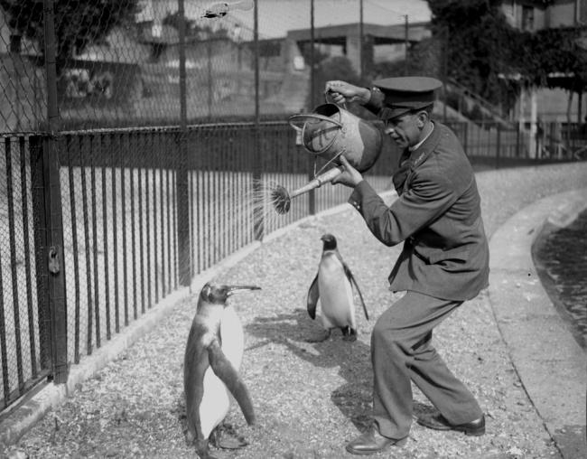 1930年8月28日,用澆花壺給企鵝淋浴的動物飼養員