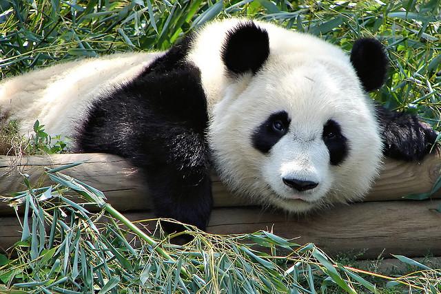 1. 育齡雌性大貓熊的一年只排一次卵,一年中適合交配的時間只有2~3天。