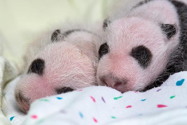 4. 大貓熊黑色的毛髮覆蓋的地方是黑色,白色的毛髮覆蓋的地方是粉紅色≧▽≦